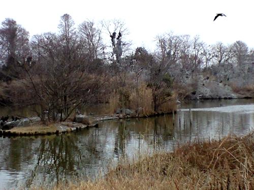 水元公園カワウのコロニー