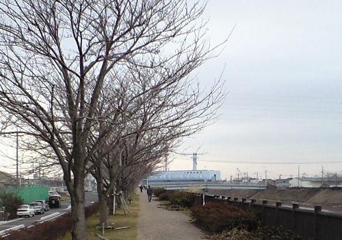 三郷放水路遊歩道の桜並木