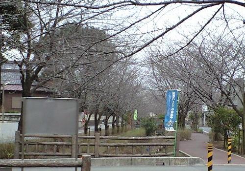 二郷半領用水遊歩道の桜並木
