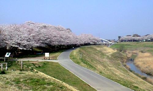 利根運河の桜
