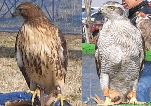 ハイブリット鷹とオオタカ