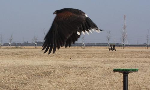 ハリスホークの飛翔画像